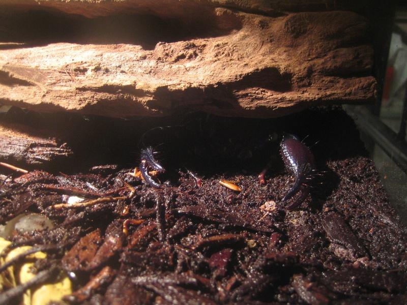 Heterometrus spinifer Ambush11