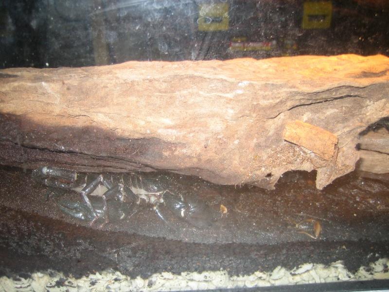 Heterometrus spinifer Backvi10