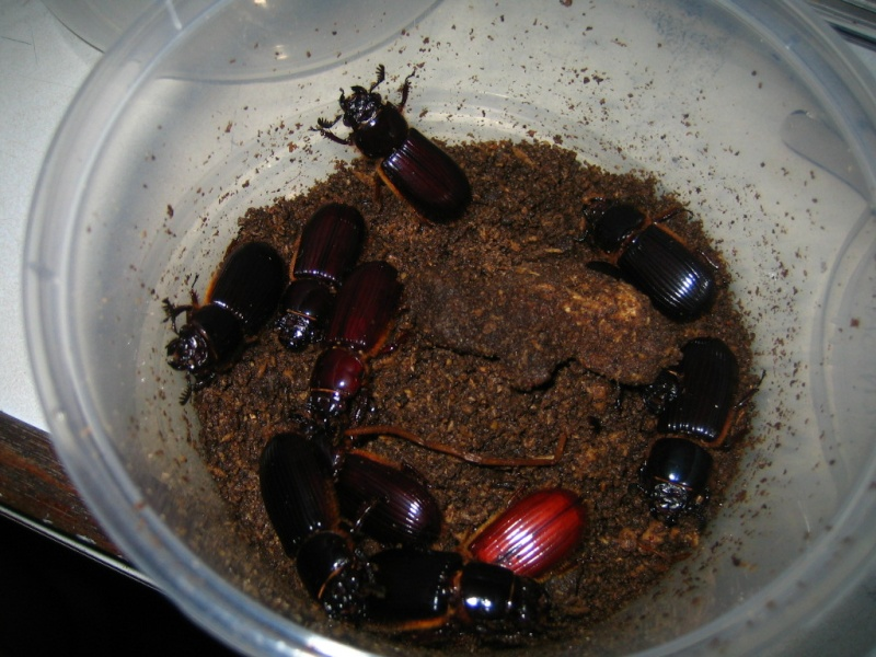 Borneo Tracks: Gunung Piuh Forest Resort Beetle10