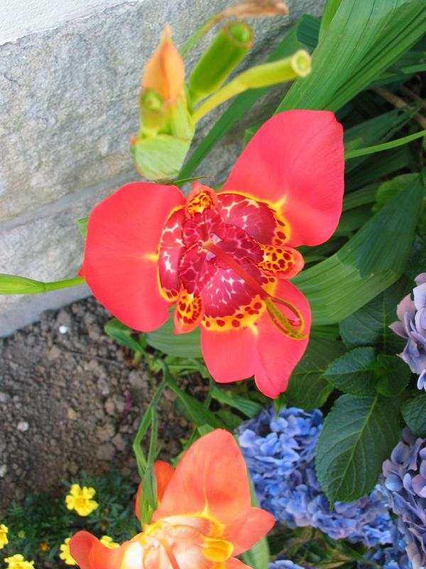 Une belle fleur venue du ciel ! Tigridia pavonia 2006-012