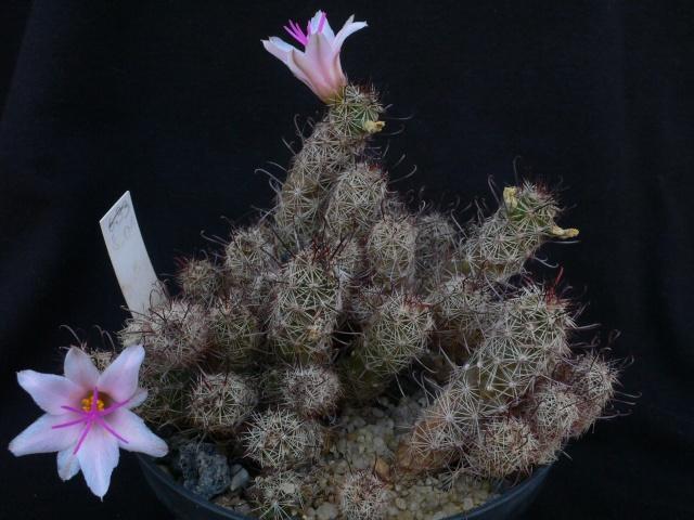 Mammillaria thornberi ssp yaquensis Immagi21