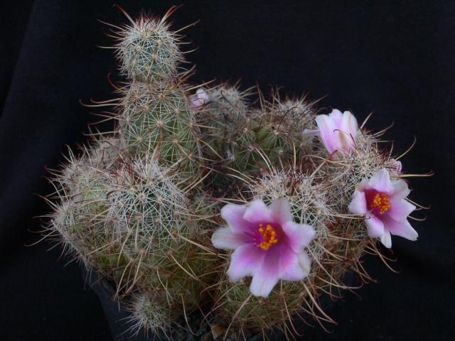 Mammillaria thornberi ssp thornberi Immagi22