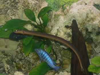 (Polyptéridés)Erpetoichthys calabaricus dit poisson roseau P1050315