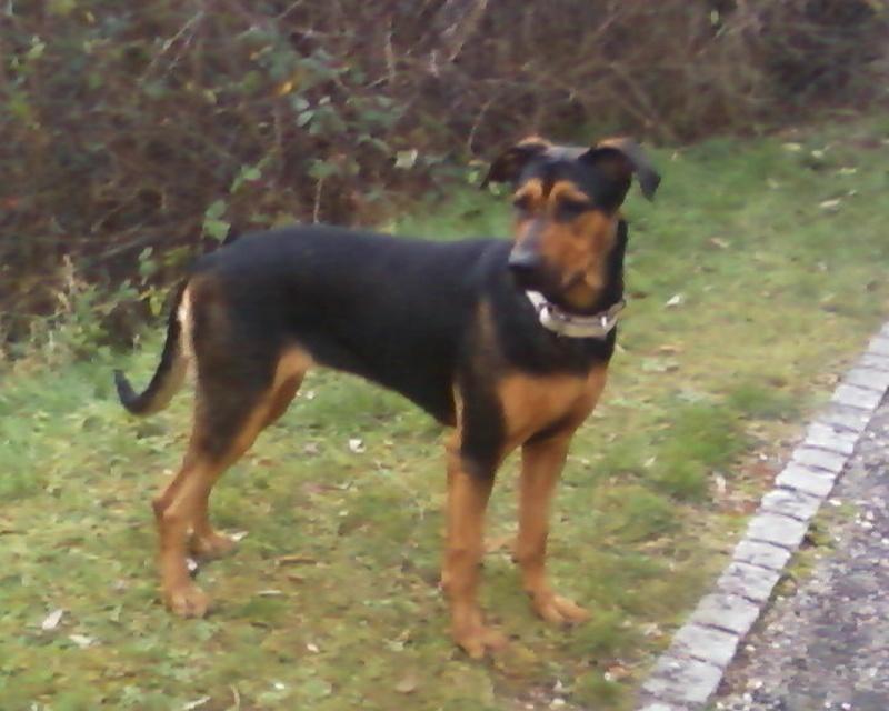 Urgent, pour Kaloa Beauceron rottweiler Photos18