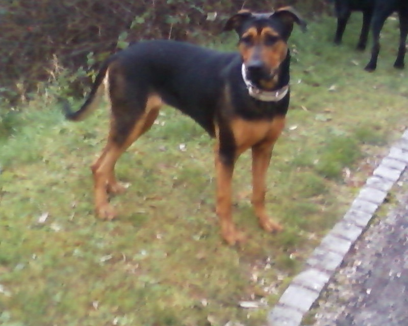 Urgent, pour Kaloa Beauceron rottweiler Photos19