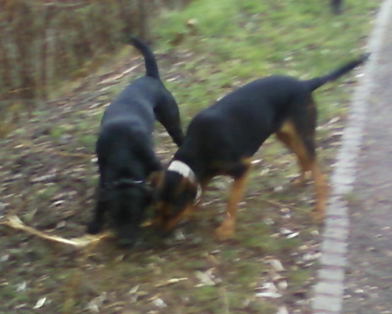 Urgent, pour Kaloa Beauceron rottweiler Photos21