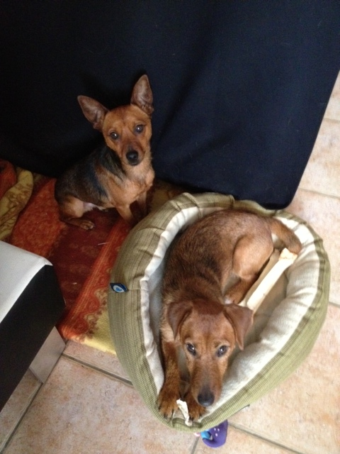 Adoption Abbo x pinscher de 6 mois (77) Abbo510