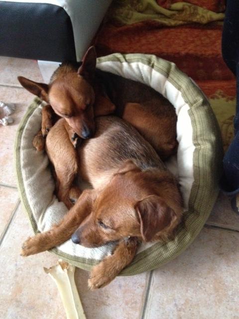 Adoption Abbo x pinscher de 6 mois (77) Abbo610