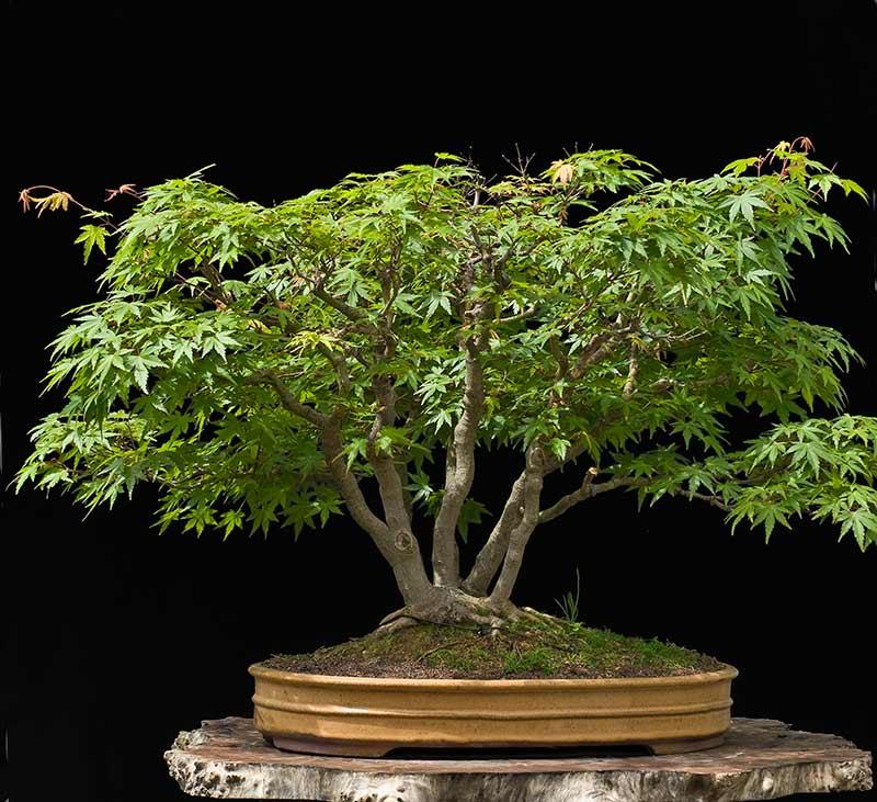 "Refurbishing a Japanese Maple - the ""Hedge Cutting Method"" Bild-110"