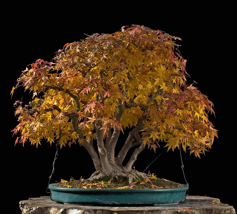 "Refurbishing a Japanese Maple - the ""Hedge Cutting Method"" Bild-112"