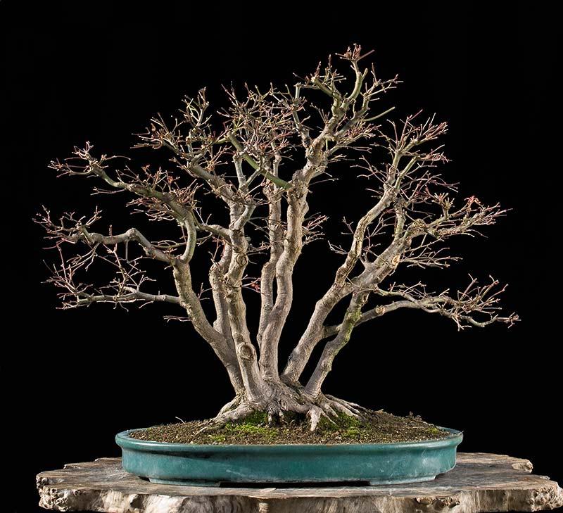 "Refurbishing a Japanese Maple - the ""Hedge Cutting Method"" Bild-113"