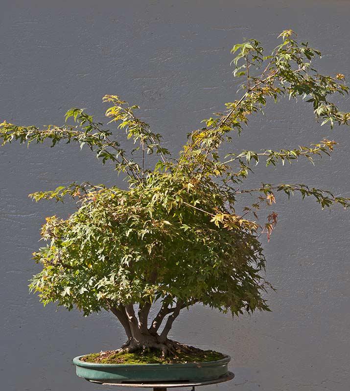 "Refurbishing a Japanese Maple - the ""Hedge Cutting Method"" Bild-116"