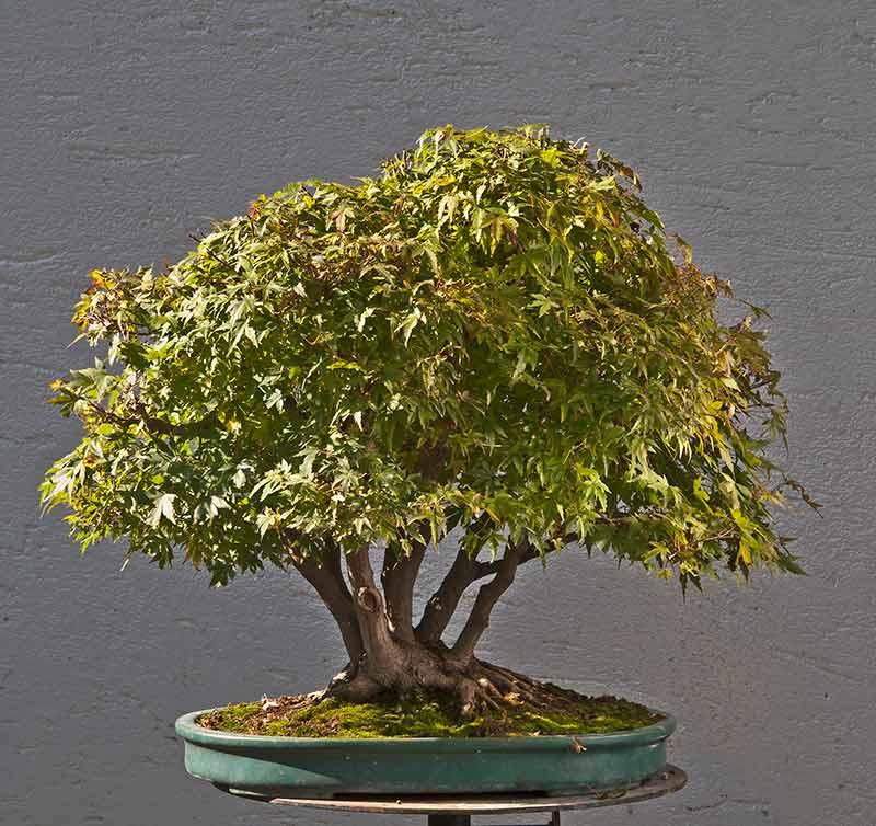 "Refurbishing a Japanese Maple - the ""Hedge Cutting Method"" Bild-118"
