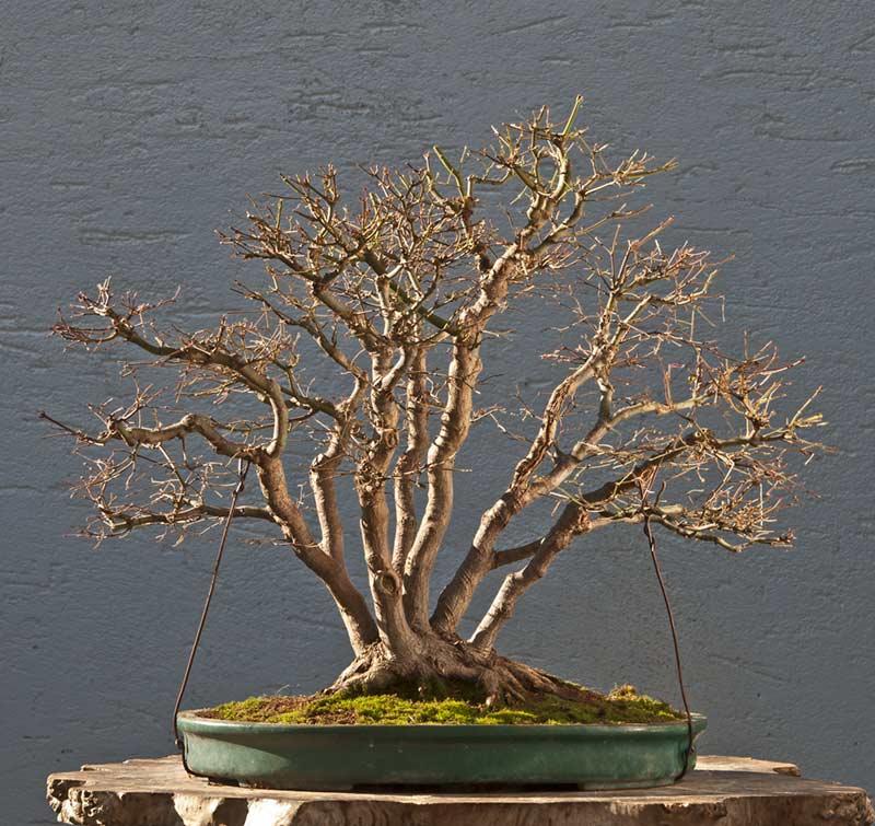 "Refurbishing a Japanese Maple - the ""Hedge Cutting Method"" Bild-119"