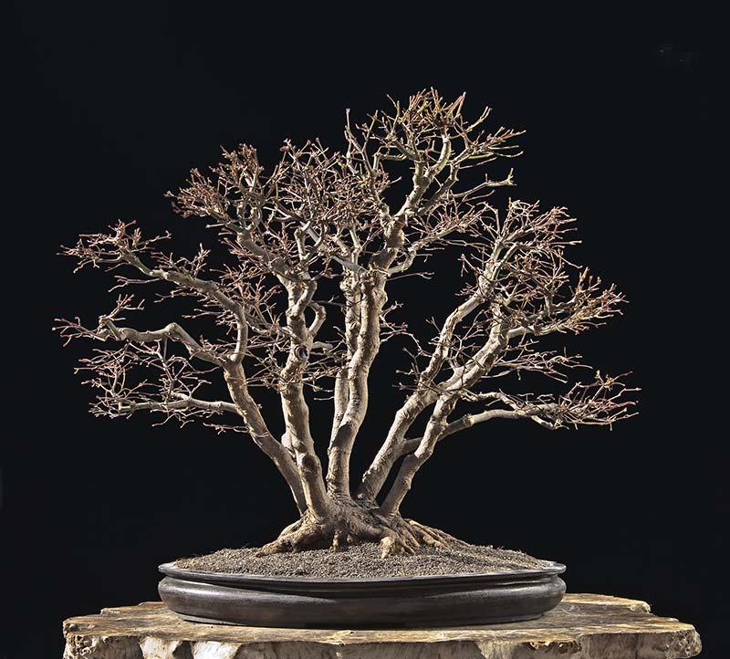 "Refurbishing a Japanese Maple - the ""Hedge Cutting Method"" Bild-212"