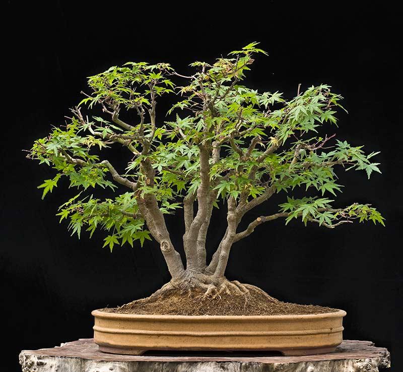 "Refurbishing a Japanese Maple - the ""Hedge Cutting Method"" Bild-310"