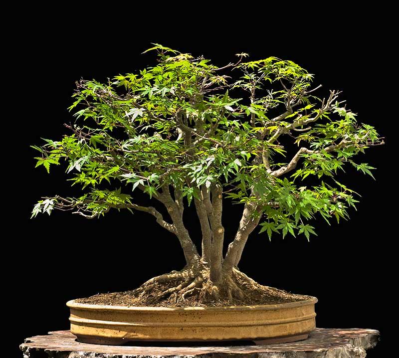 "Refurbishing a Japanese Maple - the ""Hedge Cutting Method"" Bild-410"