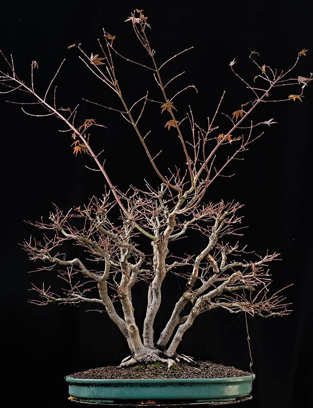 "Refurbishing a Japanese Maple - the ""Hedge Cutting Method"" Bild-810"