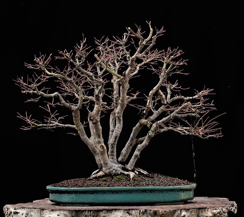 "Refurbishing a Japanese Maple - the ""Hedge Cutting Method"" Bild-910"