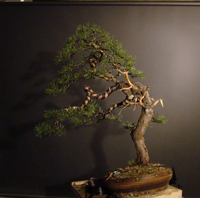 Pinus sylvestris - wider trunk Fin_1210