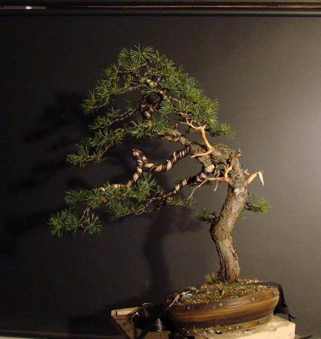 Pinus sylvestris - wider trunk Fin_1310