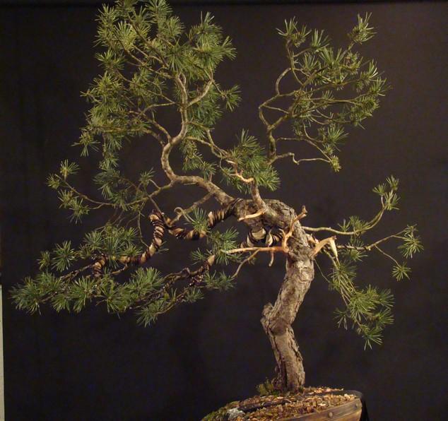 Pinus sylvestris - wider trunk Fin_210