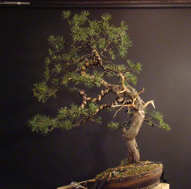 Pinus sylvestris - wider trunk Fin_810