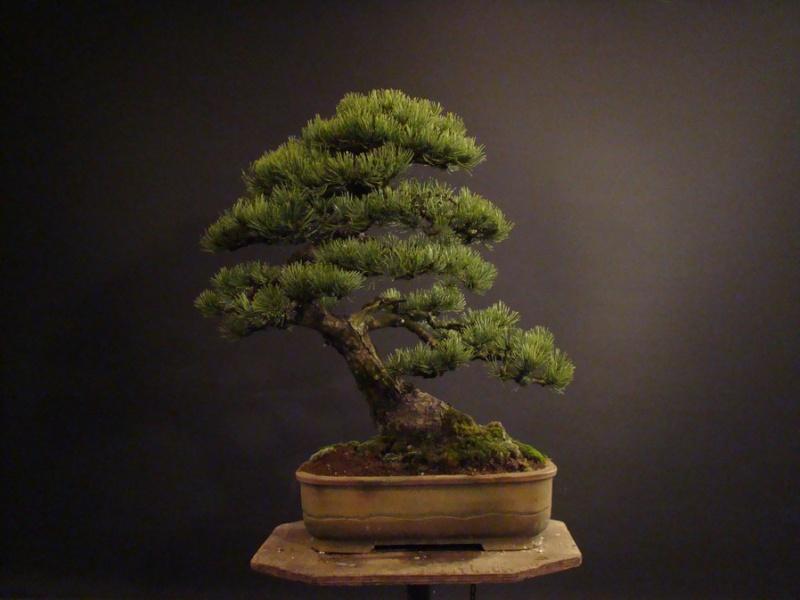 Pinus mugo 2004 - Page 2 Mni_210