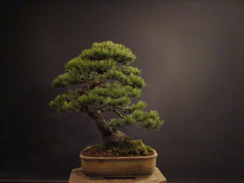 Pinus mugo 2004 - Page 2 Mni_610