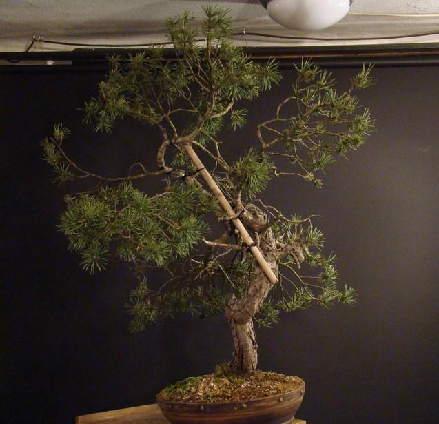 Pinus sylvestris - wider trunk Ofr-3-10