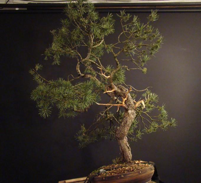 Pinus sylvestris - wider trunk Ofr-6-10