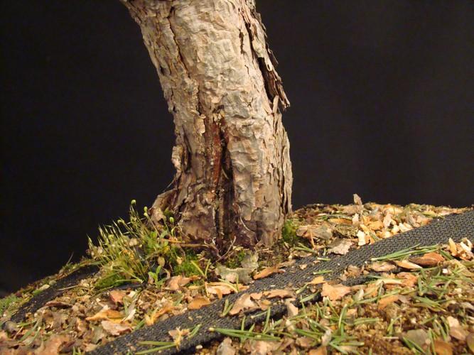 Pinus sylvestris - wider trunk Op_110