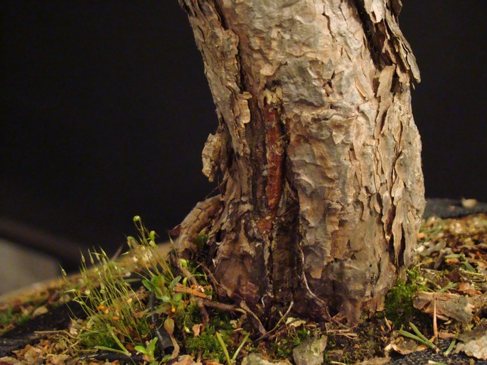 Pinus sylvestris - wider trunk Op_210