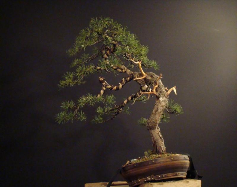 Pinus sylvestris - wider trunk Op_310