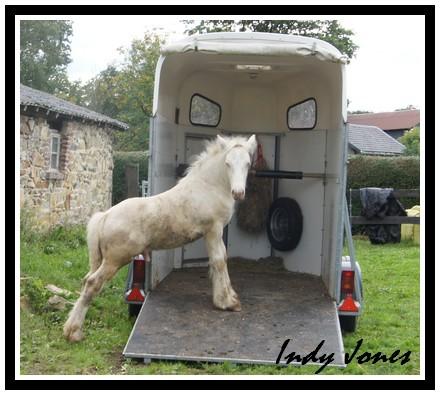 Indy Jones des Fagnes, étalon cremello au Domaine des Merveilles Aout_211