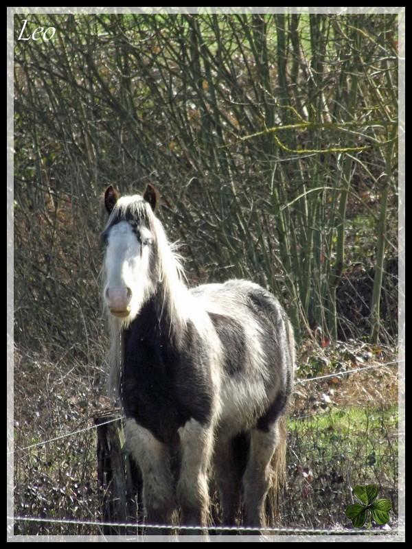 Cillbarra Léo, hongre Irish Cob au Domaine des Merveilles - Page 2 Mars_212
