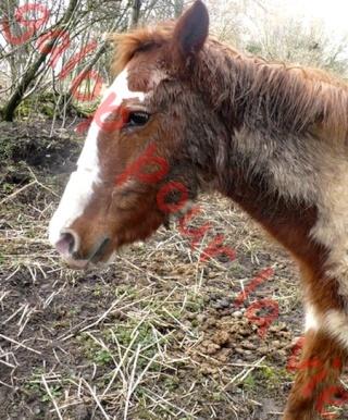 WALANIE (VANILLE) - ONC poney - adoptée en avril 2011 par voulk  - Page 6 Walani13