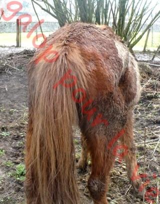 WALANIE (VANILLE) - ONC poney - adoptée en avril 2011 par voulk  - Page 6 Walani14