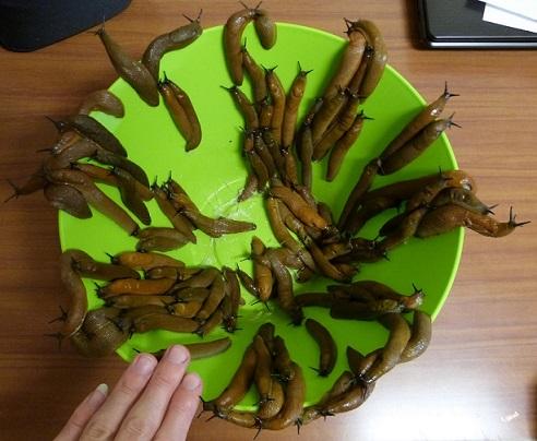 un festin de limace P1010414