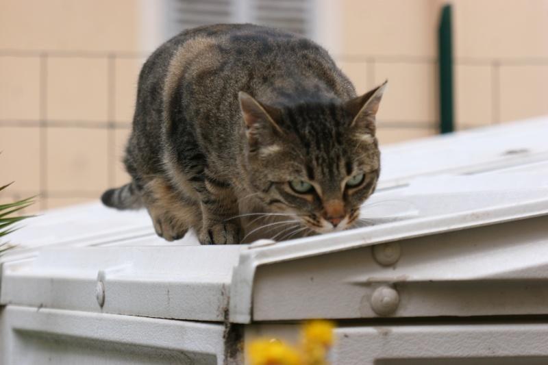 adoptée  Thelma chatte tigrée et sa chatonne 04/06 Chats_16