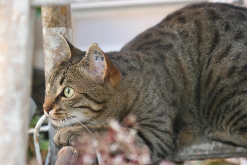 adoptée  Thelma chatte tigrée et sa chatonne 04/06 Isis__13
