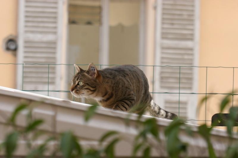 adoptée  Thelma chatte tigrée et sa chatonne 04/06 Thelma20