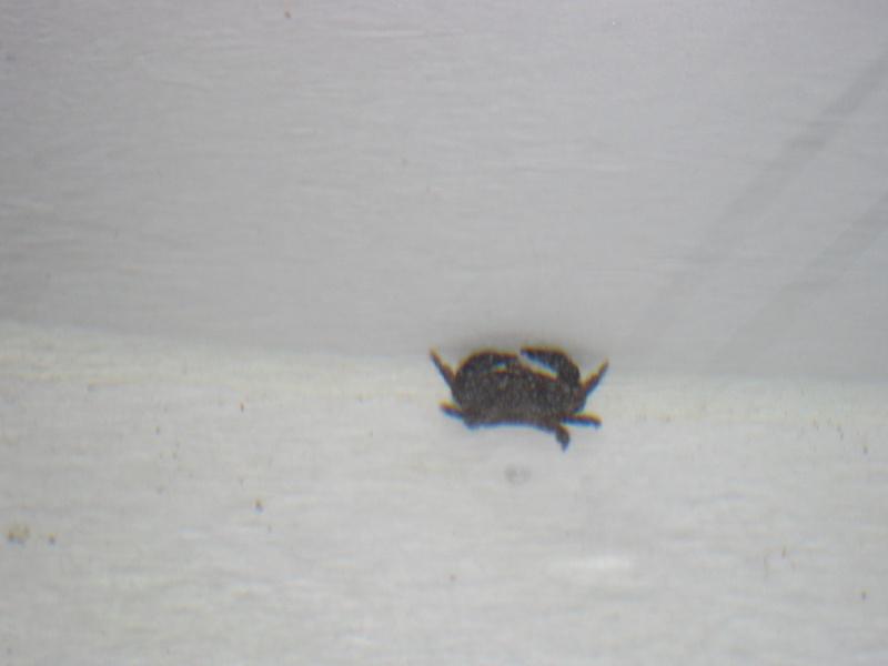 crabe dans mon bac Photo_13