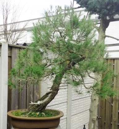 Pinus halepensis Foto1110