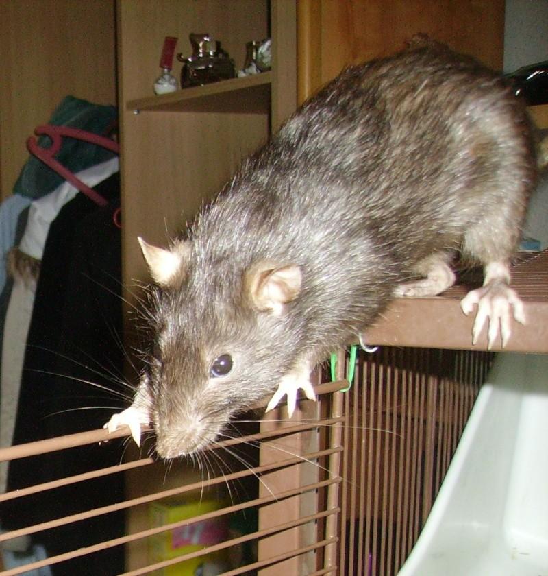 Mes choupinettes rattounettes ! <3 Pict0017