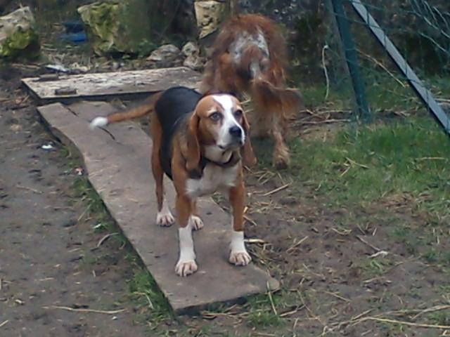 ALYZEE, beagle femelle, 3 ans 1/2 (86) Dsc00012