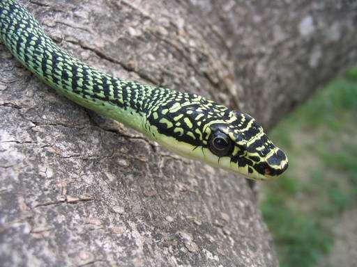 Petit Quizz Ophidiens (Trouvé par Raffi - Chrysopelea ornata) 55510