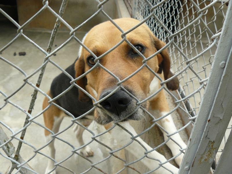 CHOUKA, beagle harrier, 9 ans (86) Chouka10