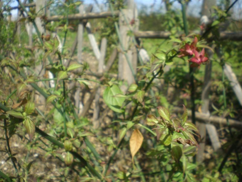 C'est quoi cet arbuste svp? P4140010