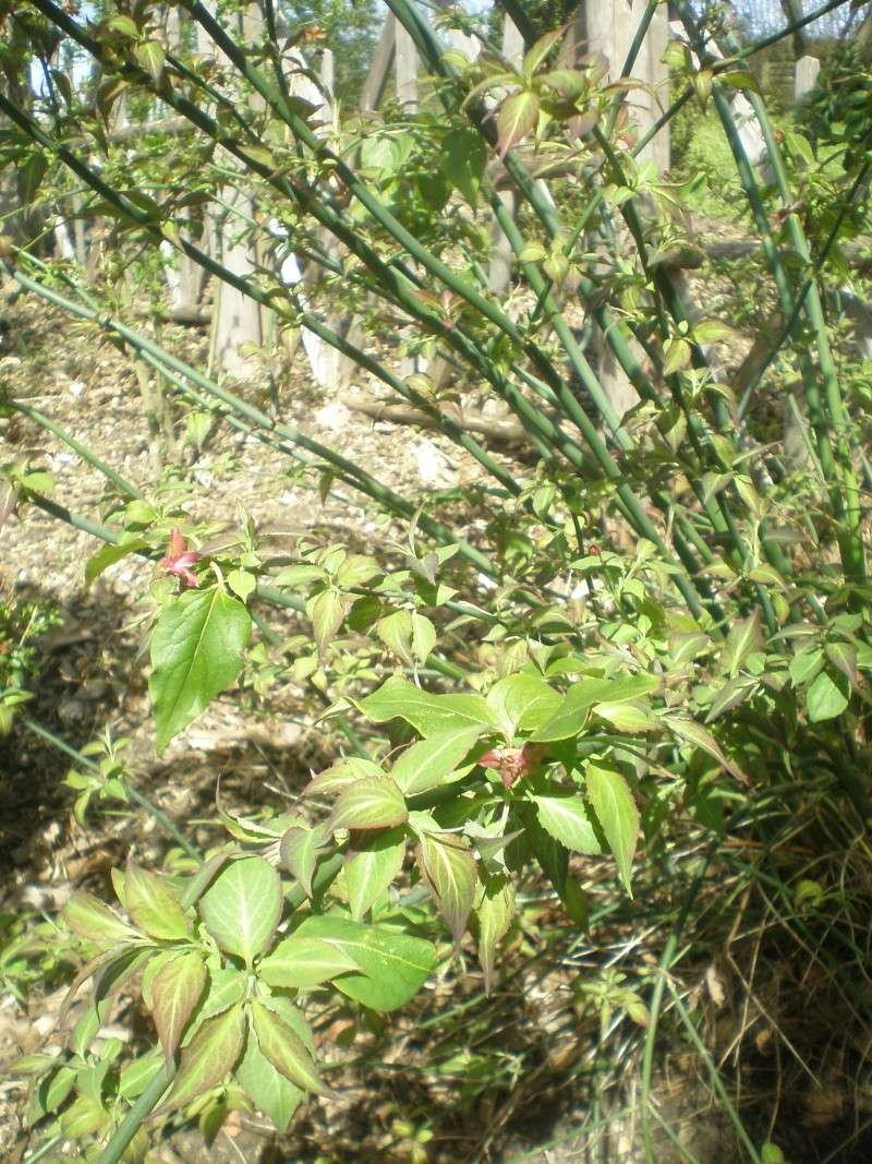 C'est quoi cet arbuste svp? P4140012